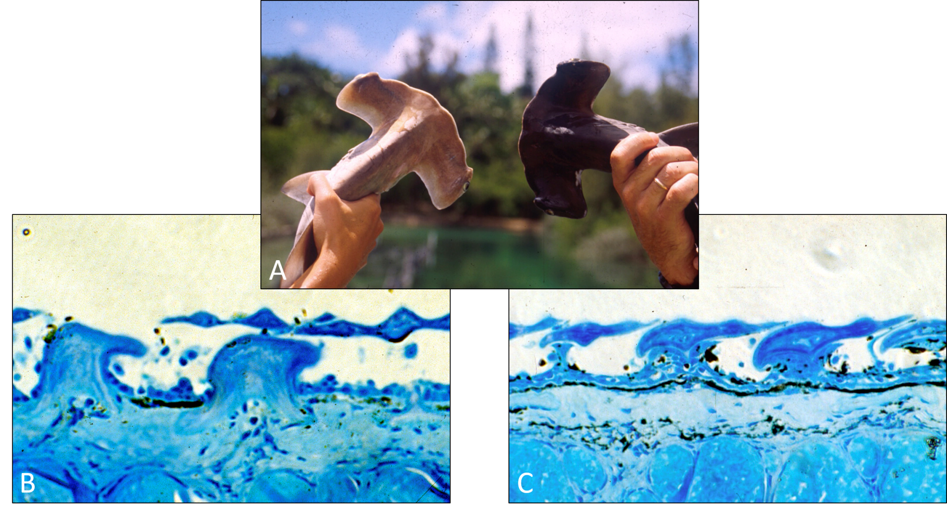 Fig. 3. A) two scalloped hammerhead sharks are held up side by side, B) histology of untanned scalloped hammerhead shark skin, C) histology of tanned scalloped hammerhead shark skin