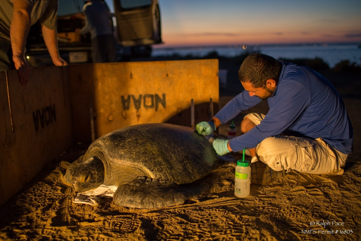 researcher collecting scute samples from a green sea turtle at night